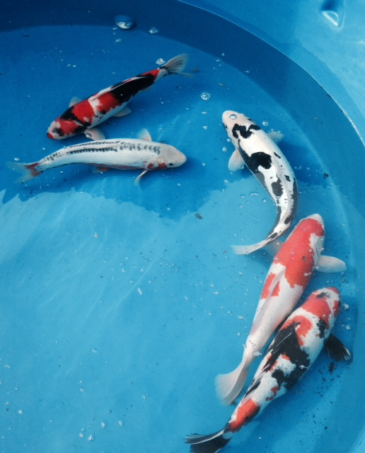 Index for Koi hatchery
